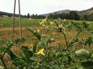 Tomato plants going crazy!